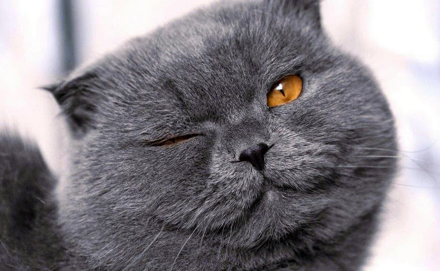 British Shorthair Lewis Carroll's muse