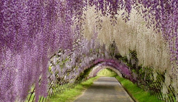 The Wisteria tunnel in the Japanese city of Kitakyushu
