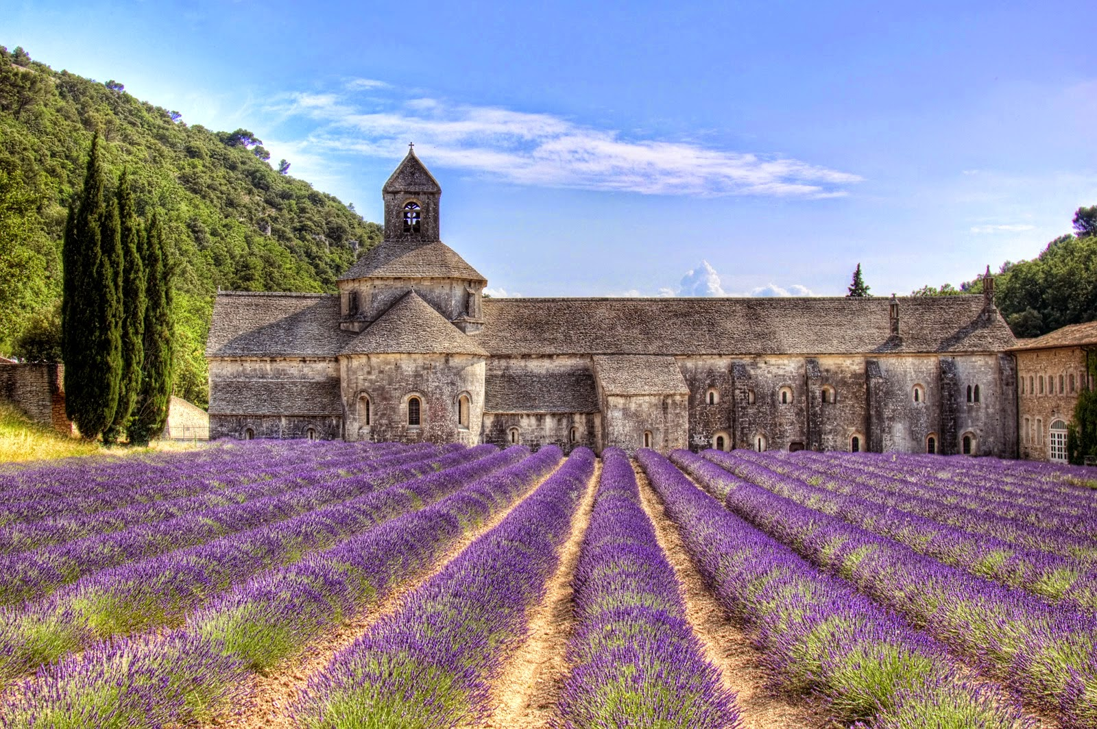 The flowering lavander in Provence for spring
