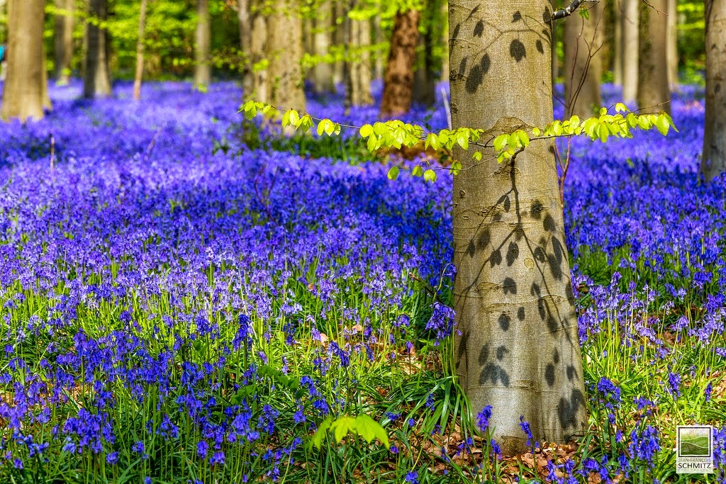 blooming at Blue Forest in Belgium for spring