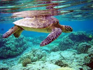 Swimming with turtles in the top beaches in the Maldives