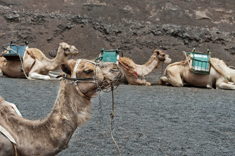 Camels ready to ride on the volcano