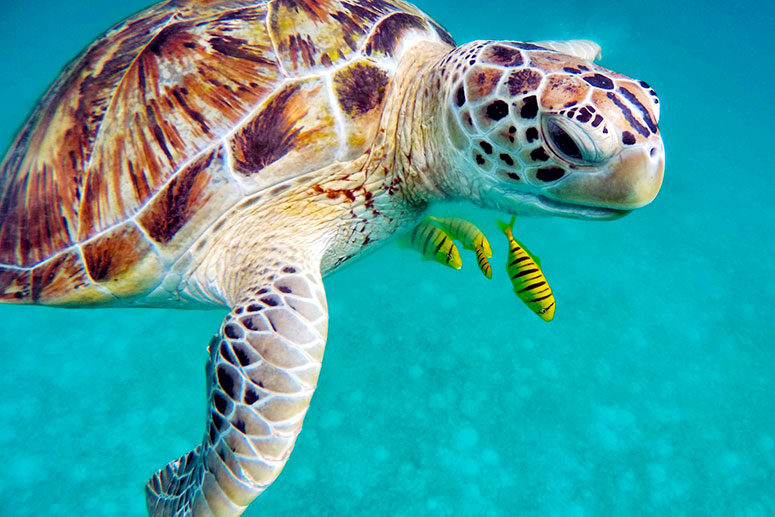 Swim with Sea Turtles, one of visitors' favorite things to do around Playa Del Carmen.
